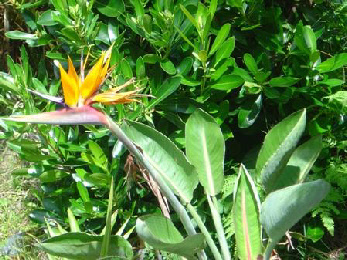 Bird of paradise flower, Auckland