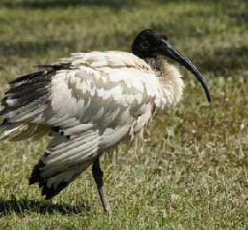 Ibis - an icon of the Coast